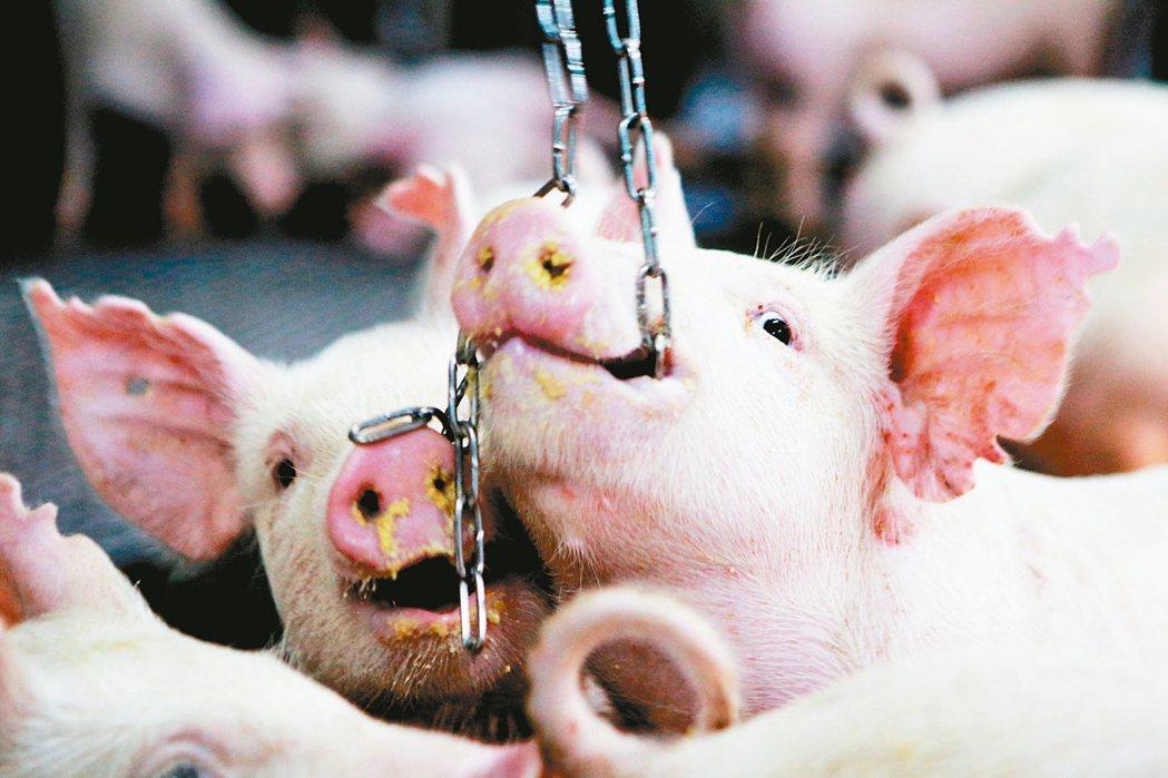 豬是好奇寶寶,喜歡探索,當環境太擁擠會打架,動福飼養設置鐵鏈分散牠們注意力。 記...