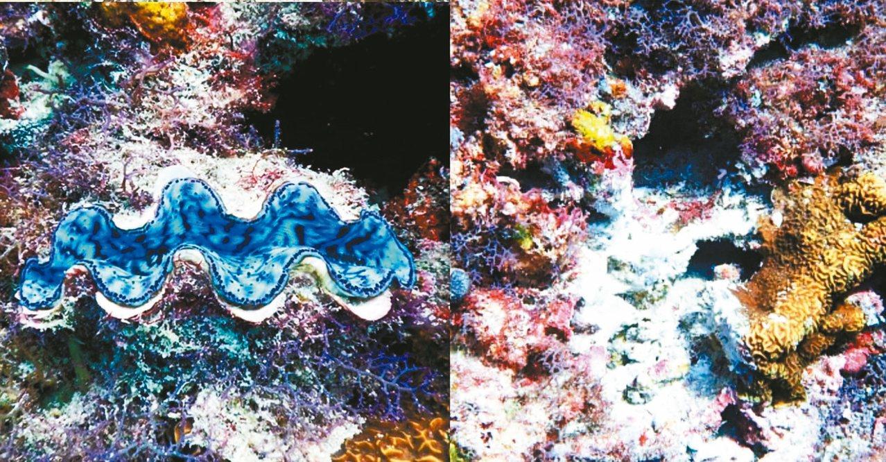 小琉球海洋保育志工日前在屏東小琉球美人洞浮潛區,發現硨磲貝遭盜採。 圖/取自臉書...