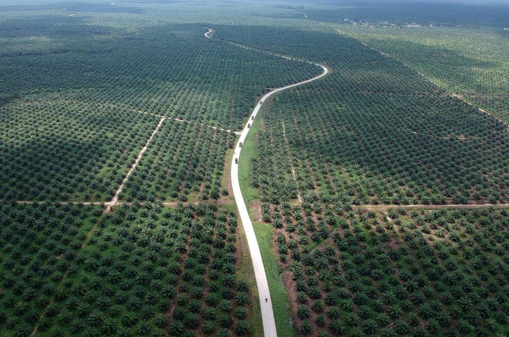圖為印度Batanghari一處棕櫚樹園。 圖/路透社
