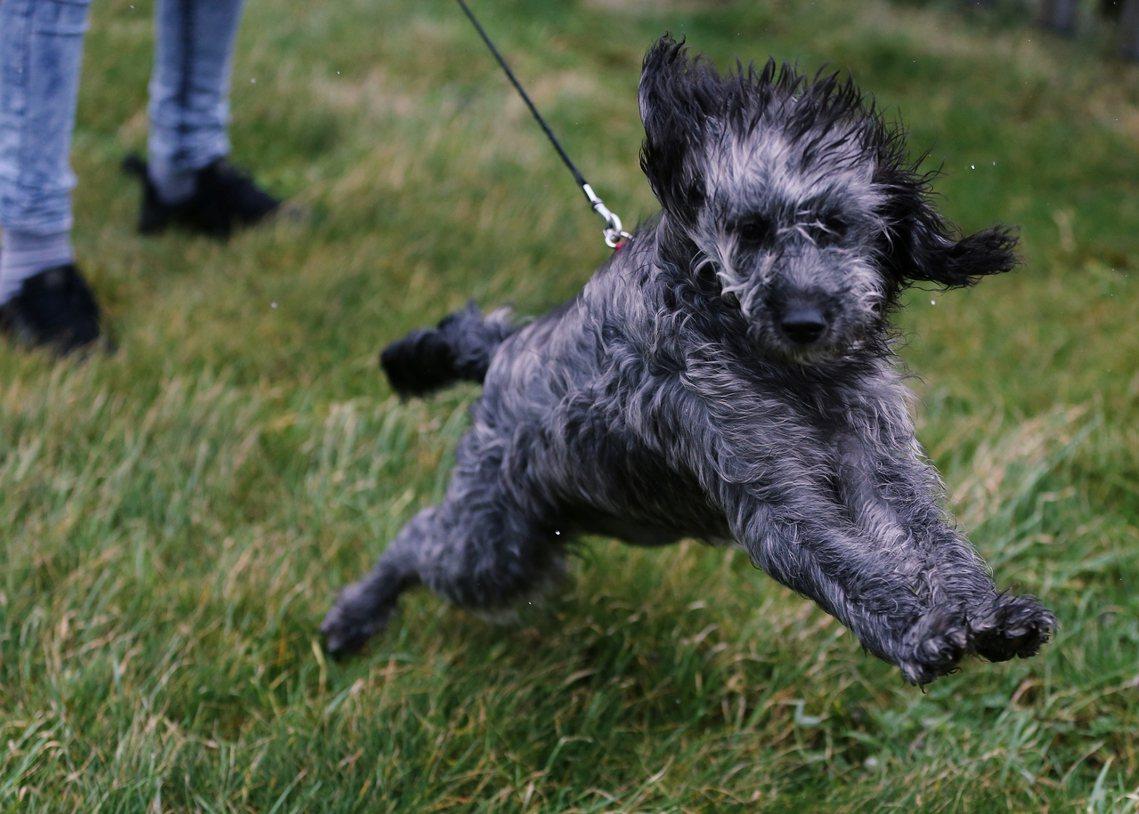 許多飼主在新聞出來後紛紛對「怪物說」表示不認同,他們認為拉不拉多貴賓犬是可愛又善...