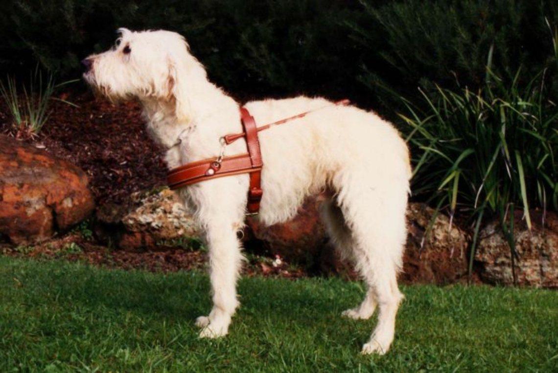 1989年,第一隻拉不拉多貴賓導盲犬「蘇丹」(Sultan),在康倫的配種培育下...