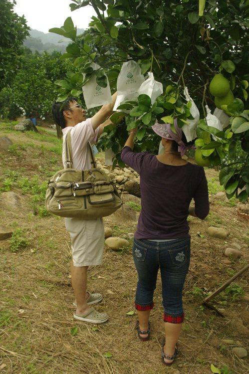 八里柚、萬里蟹 來去新北農家DO一日體驗農遊