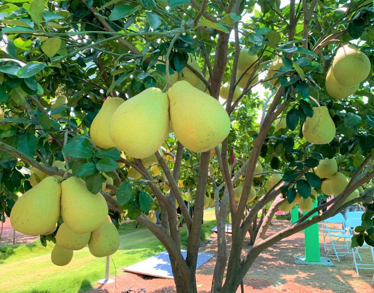 麻豆紅柚以台南栽種面積最多。記者吳淑玲/攝影