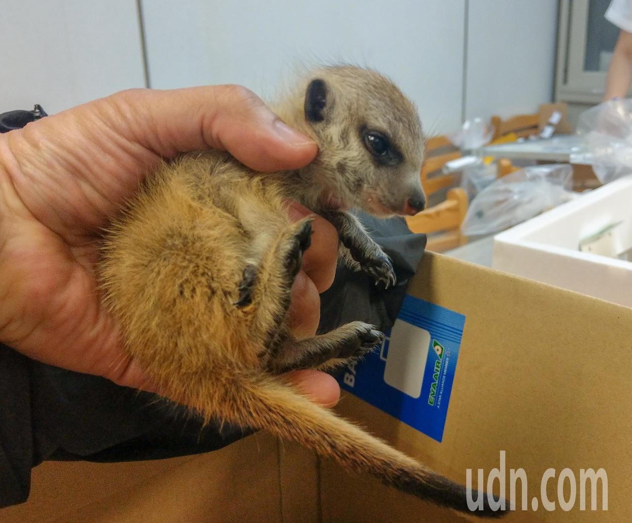 關務署台北關晚上在桃園機場查獲一陳姓旅客走私一批活體動物,其中有一隻兩個月大的公...