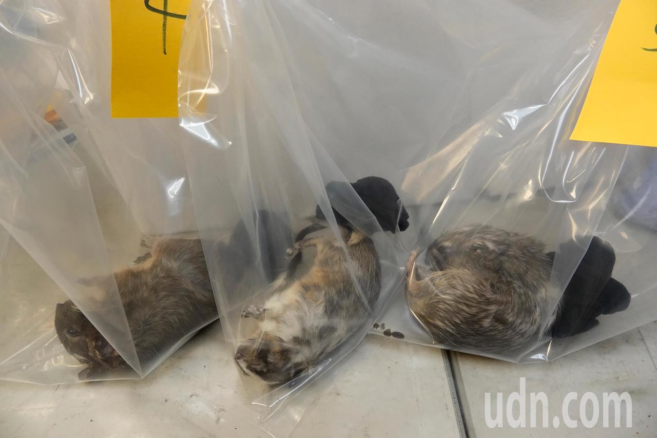 關務署台北關晚上在桃園機場查獲一陳姓旅客走私一批活體動物,其中有四隻八齒鼠已經死...