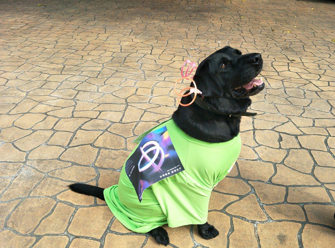 「A弟」是隻拉不拉多犬,當年在海關擔任緝毒犬工作,工作退役後由泰安派出所收養。圖...