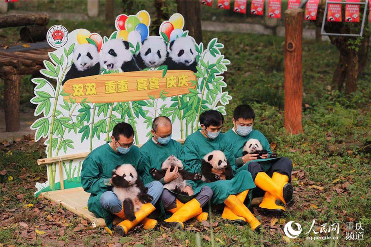 雙重喜慶!重慶兩對雙胞胎大熊貓有名字了 (取材自人民網)