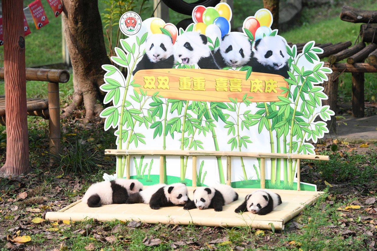 雙重喜慶!重慶兩對雙胞胎大熊貓有名字了 新華社