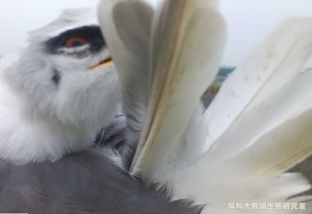 圖片來源/ 《屏科大鳥類生態研究室》粉絲專頁
