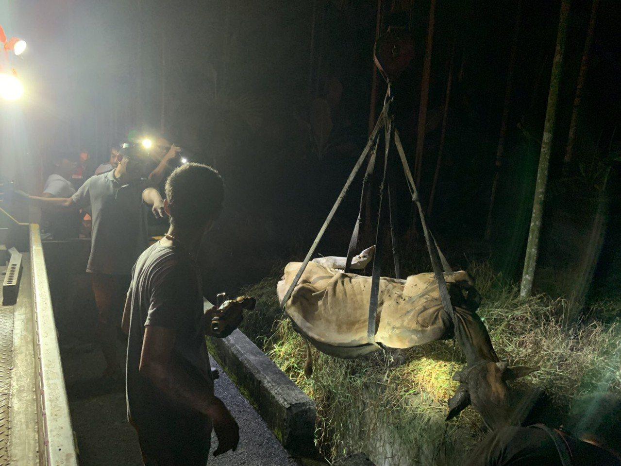 影/摔落2米深溝牛隻動彈不得 警民合力「吊牛」搶救