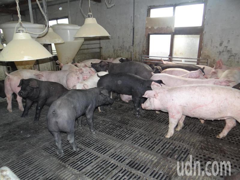 台灣從1997年發生口蹄疫後,不僅失去最大的日本外銷市場,國內的豬肉自給率也正在下降;24年後從疫區除名,但養豬的生產樣態仍維持20多年前的傳統生產。 聯合報系資料照/記者蔡維斌攝影