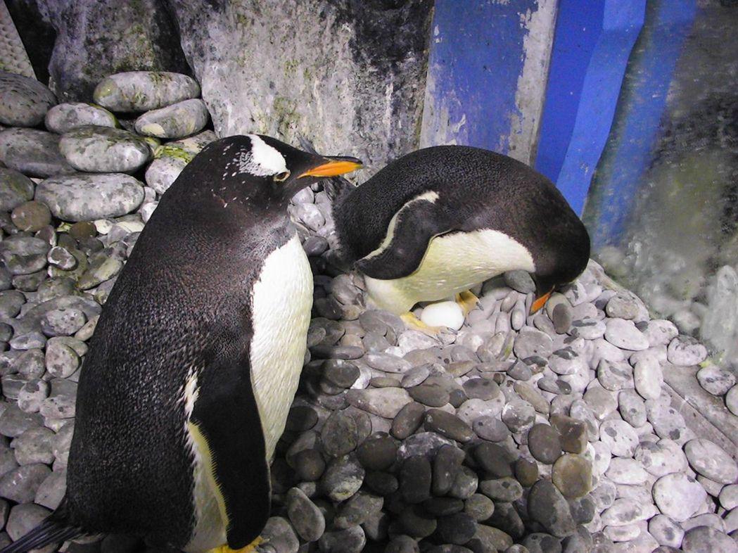 雌企鵝孵蛋,公企鵝在旁守護的溫馨畫面。  屏東海生館 提供