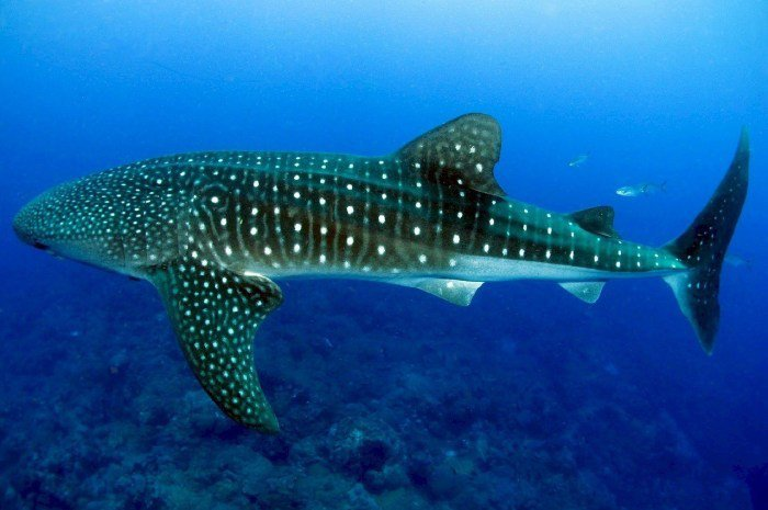 鯨鯊之旅。 圖/Pixabay