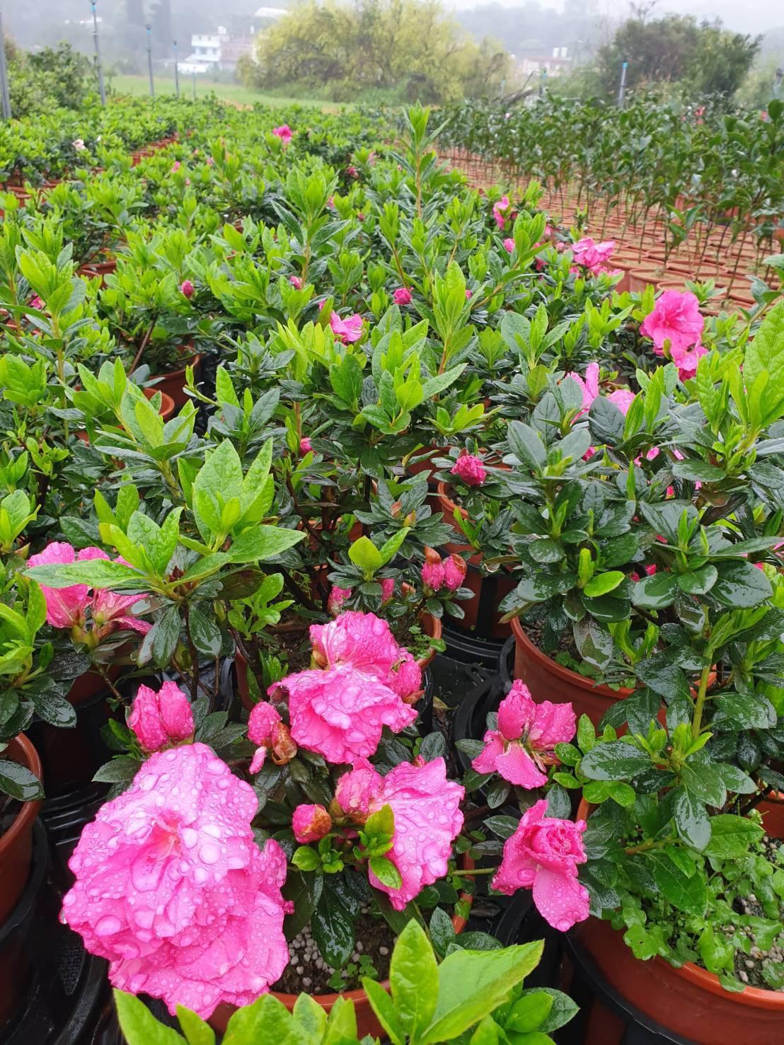 青農嚴慶榮種植的玫瑰杜鵑。圖/新北市農業局提供