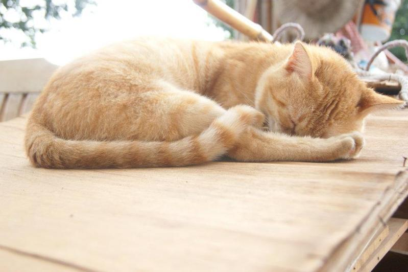 貓咪示意圖。記者陳俊智/攝影