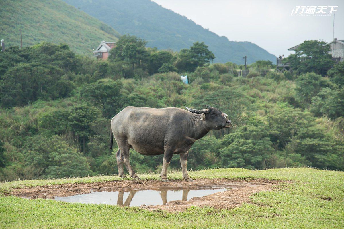 ▲靜靜看著水牛群低頭飲水,也是一種愜意。