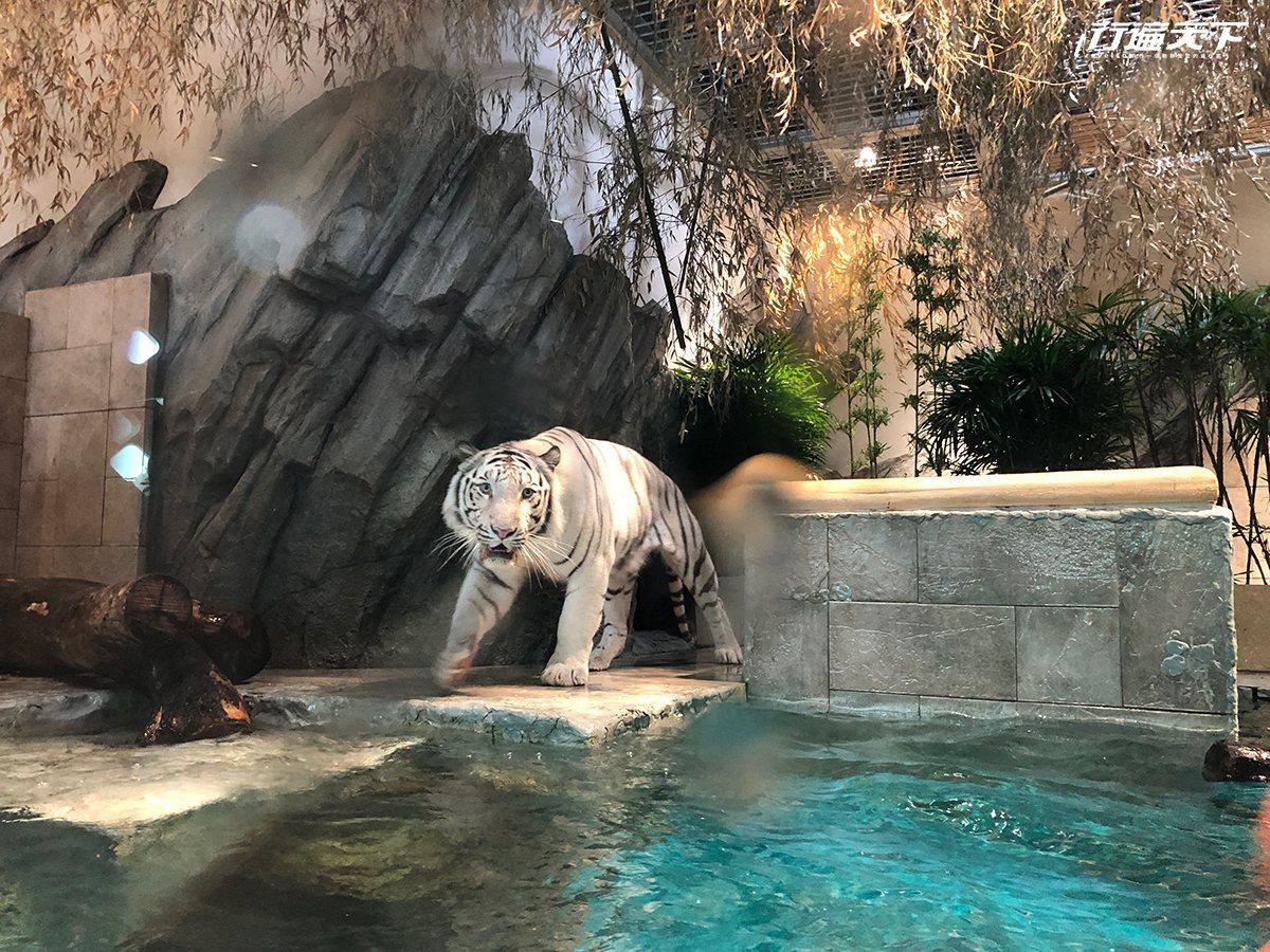 ▲白老虎是最人氣的區域,每日都會有工作人員用道具陪玩。