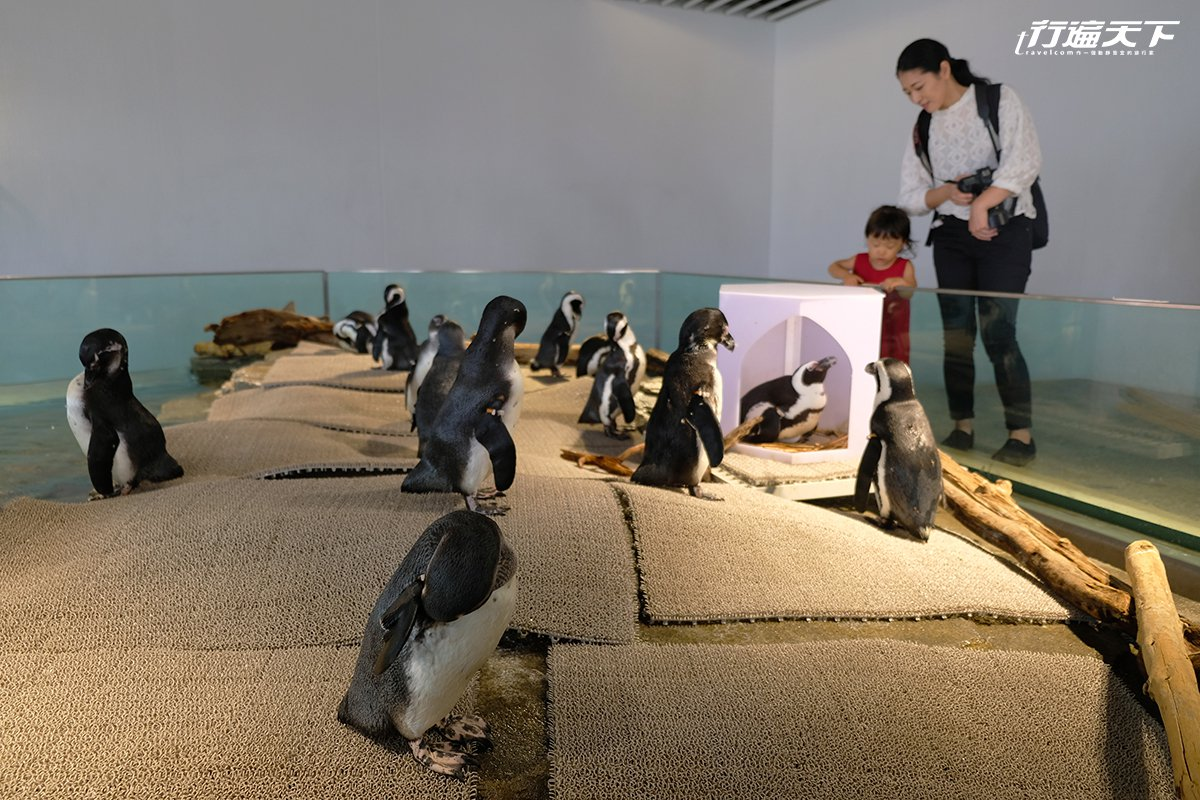 ▲開放區域則是可以超級近距離欣賞水豚君、企鵝等。
