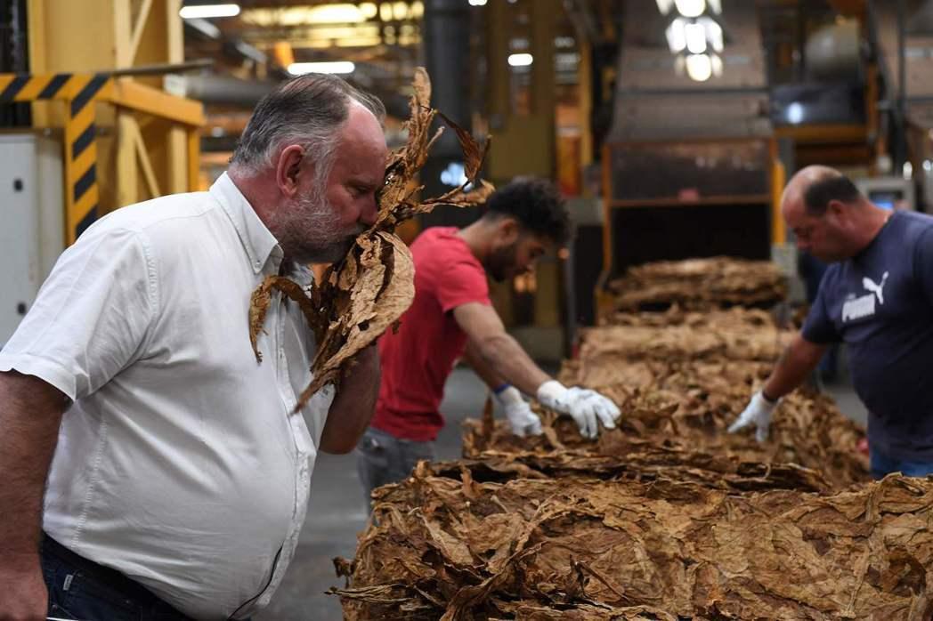 廠長塔巴努在生產線上仔細檢查菸葉。 (法新社)