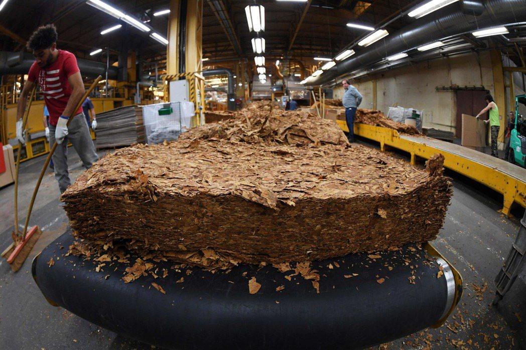法國菸草加工廠內正要進行加工的菸葉。 (法新社)
