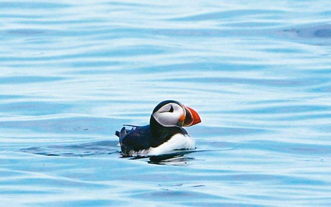 冰島海鸚。 高偉庭/攝影