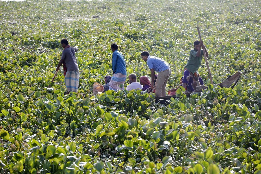 肯亞不再視布袋蓮為入侵種,而是能提供更乾淨的能源。圖為孟加拉漁夫在布里甘加河受到...