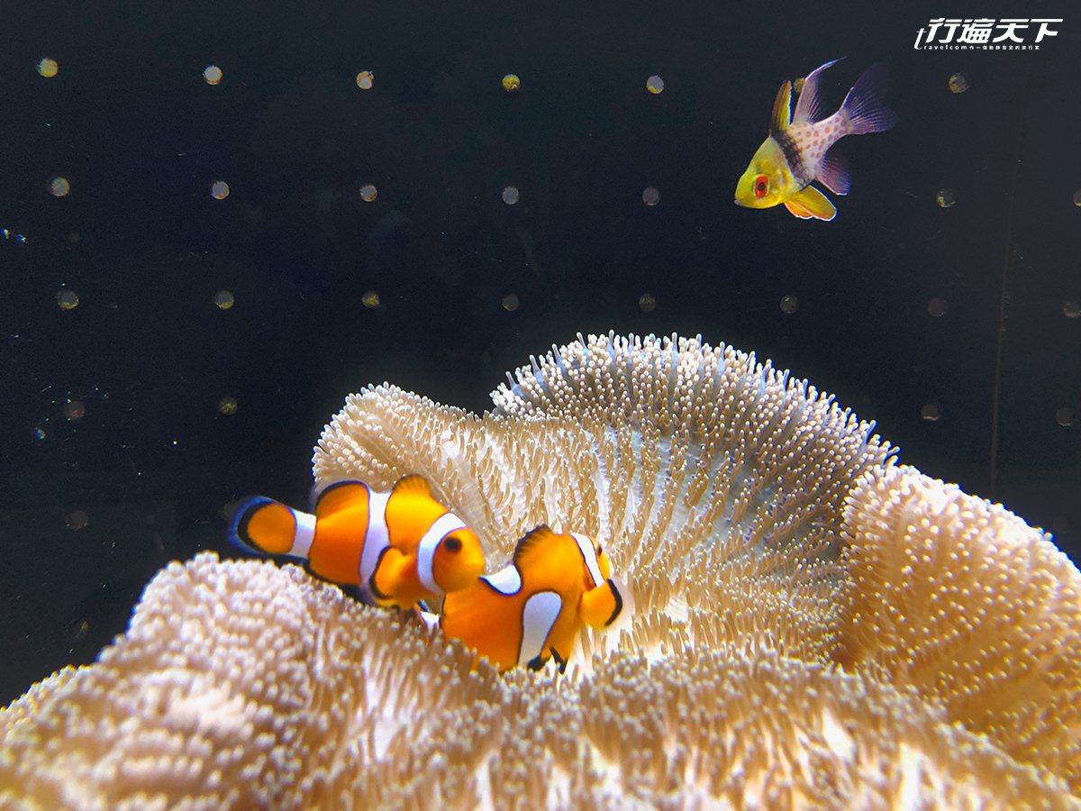 ▲小丑魚與海葵的漂亮奇景。