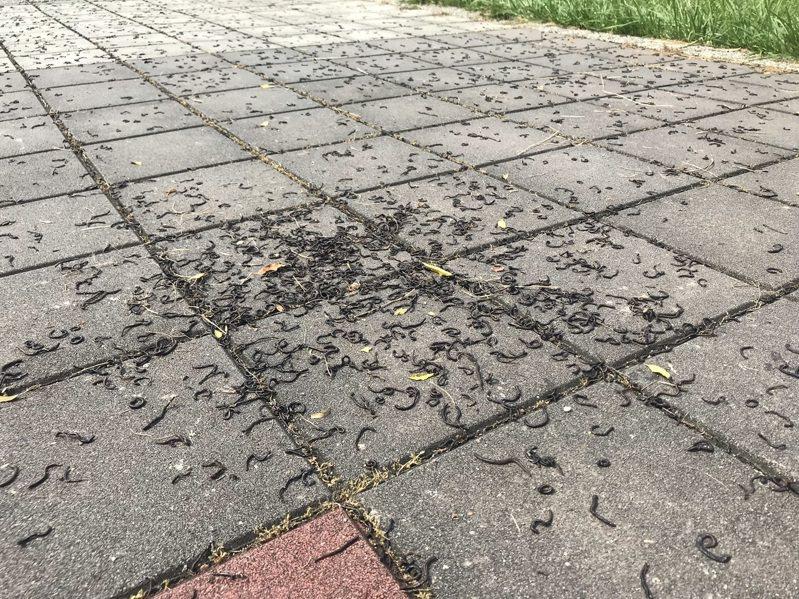 屏東市千禧公園,地面冒出上萬隻蚯蚓,經烈日曝曬全成了乾屍。圖/本報讀者提供