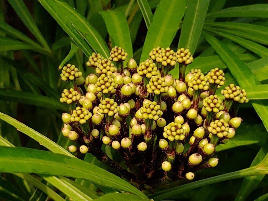 神秘黑球現蹤台北典藏植物園 五爪木獨特花相吸睛