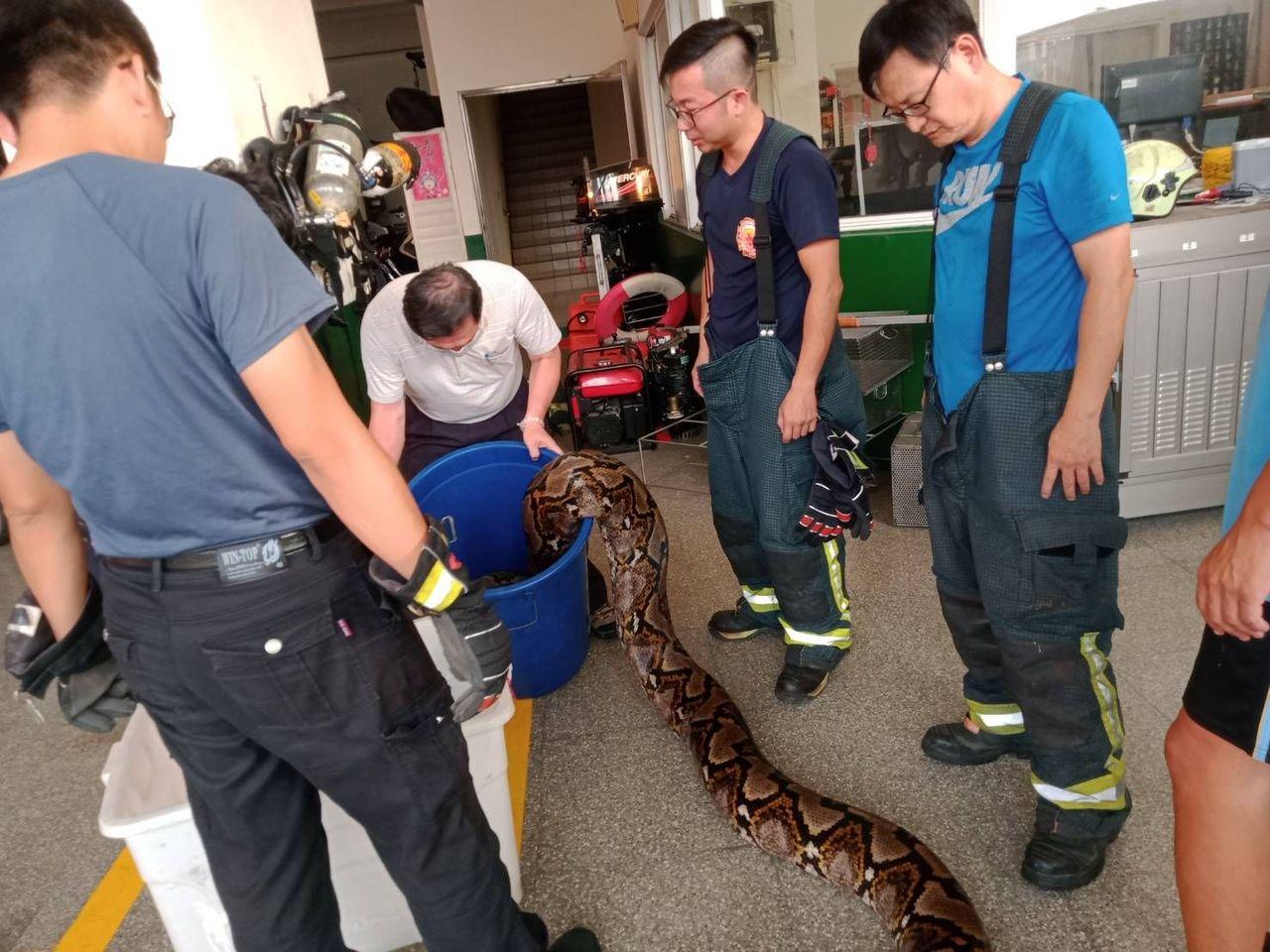 澄清湖捕獲的6尺巨蟒,高市府農業局最後送到屏科大收容,供作研究。記者王昭月/攝影