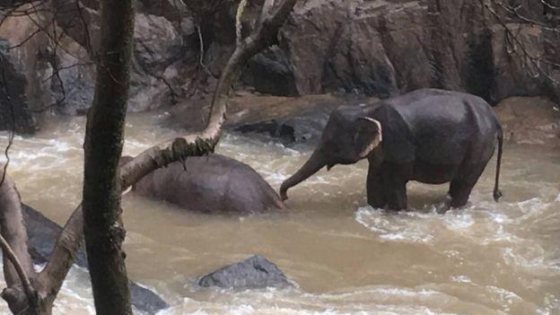 一頭倖存的大象正在救溺水的同伴。圖/泰國國家公園提供