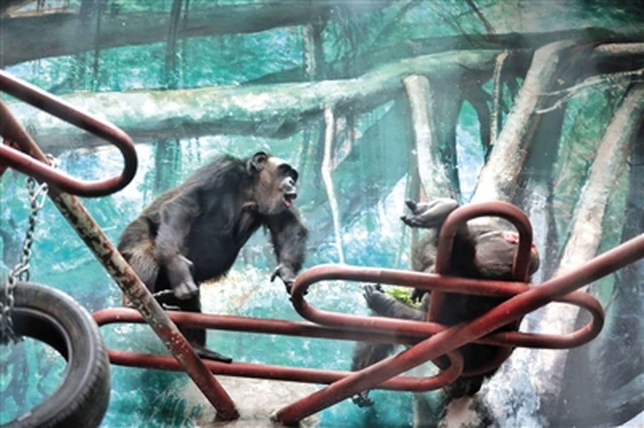 猩猩館內,老年黑猩猩在玩耍、進食。 取自新京報