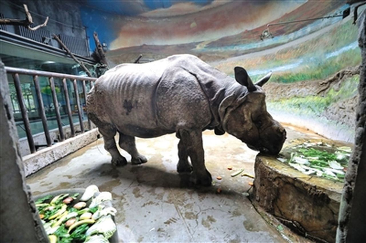 老年犀牛「尼姆」在享用飼養員準備的蔬果大餐。 取自新京報
