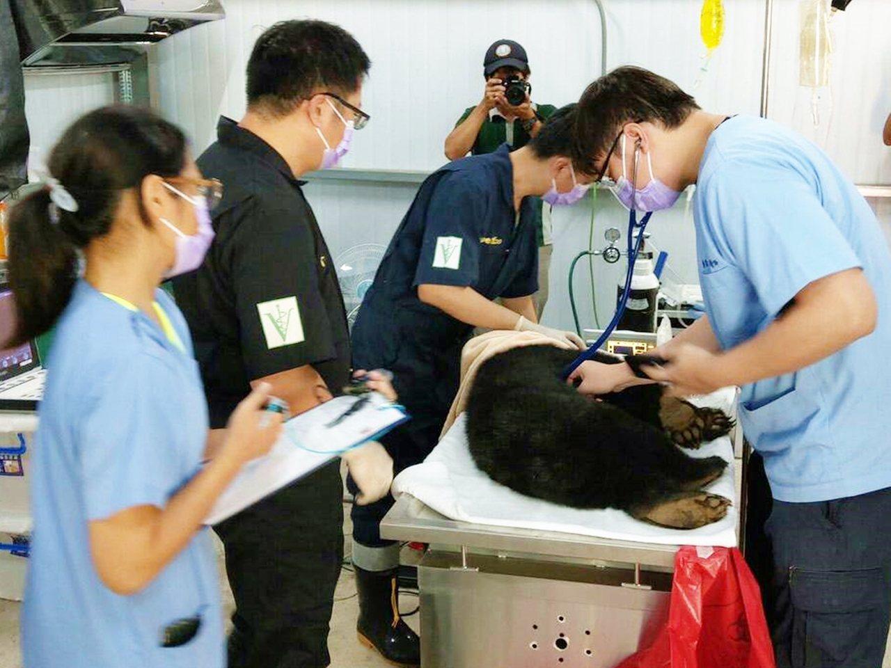 利稻小熊經獸醫師們會診,確認是隻約半歲到1歲間的小公熊。記者羅紹平/翻攝