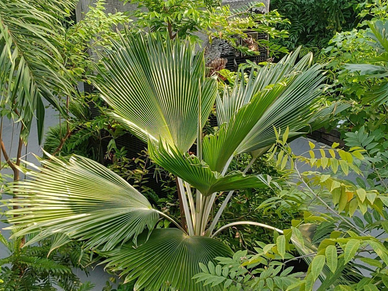 「斐濟櫚」的圓形摺扇整整齊齊、綠中帶點白,在原產地可是酋長才能使用的扇子,民眾可...
