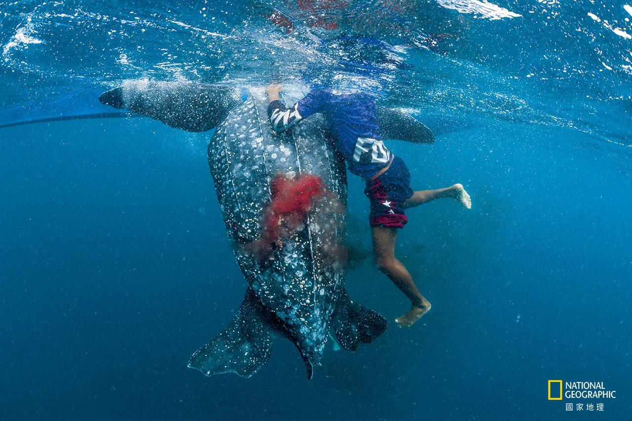 印尼卡伊群島附近,被原住民獵人用魚叉射中的革龜奄奄一息,身上滲出鮮血。革龜是七種...