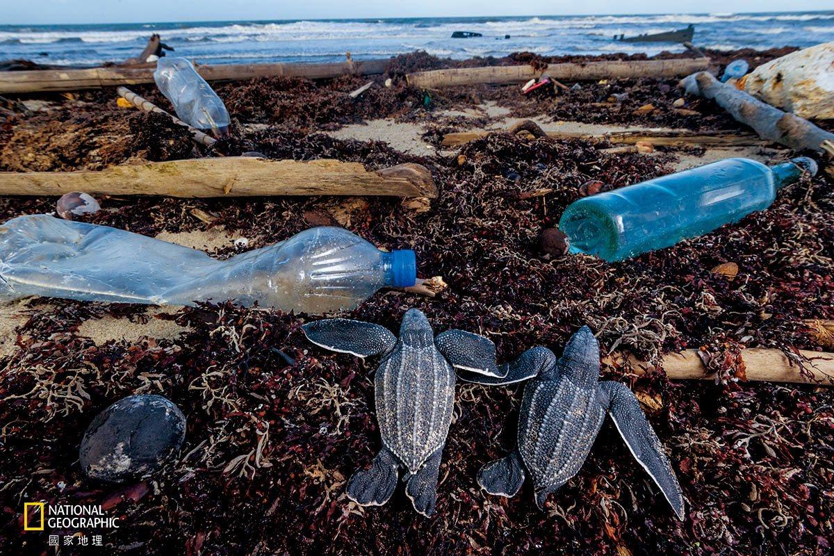 剛孵化的革龜幼龜在爬過千里達馬土拉海灘前往大海的途中,遭遇了塑膠瓶與其他垃圾。當...