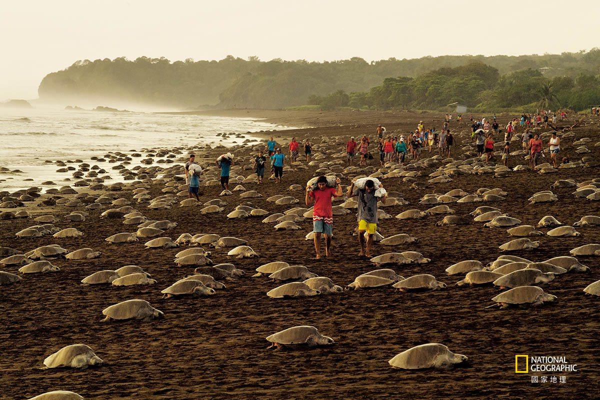 在哥斯大黎加的奧斯蒂歐娜海灘, 欖蠵龜的巢非常密集,以至於常常會互相擠壓和破壞對...
