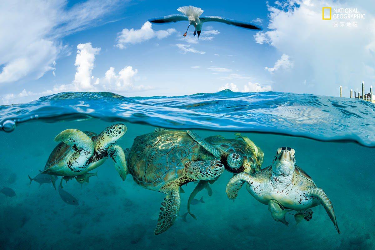 綠蠵龜聚集在巴哈馬的一個碼頭附近。在哥倫布時期,綠蠵龜多到讓人覺得「船隻似乎會在...