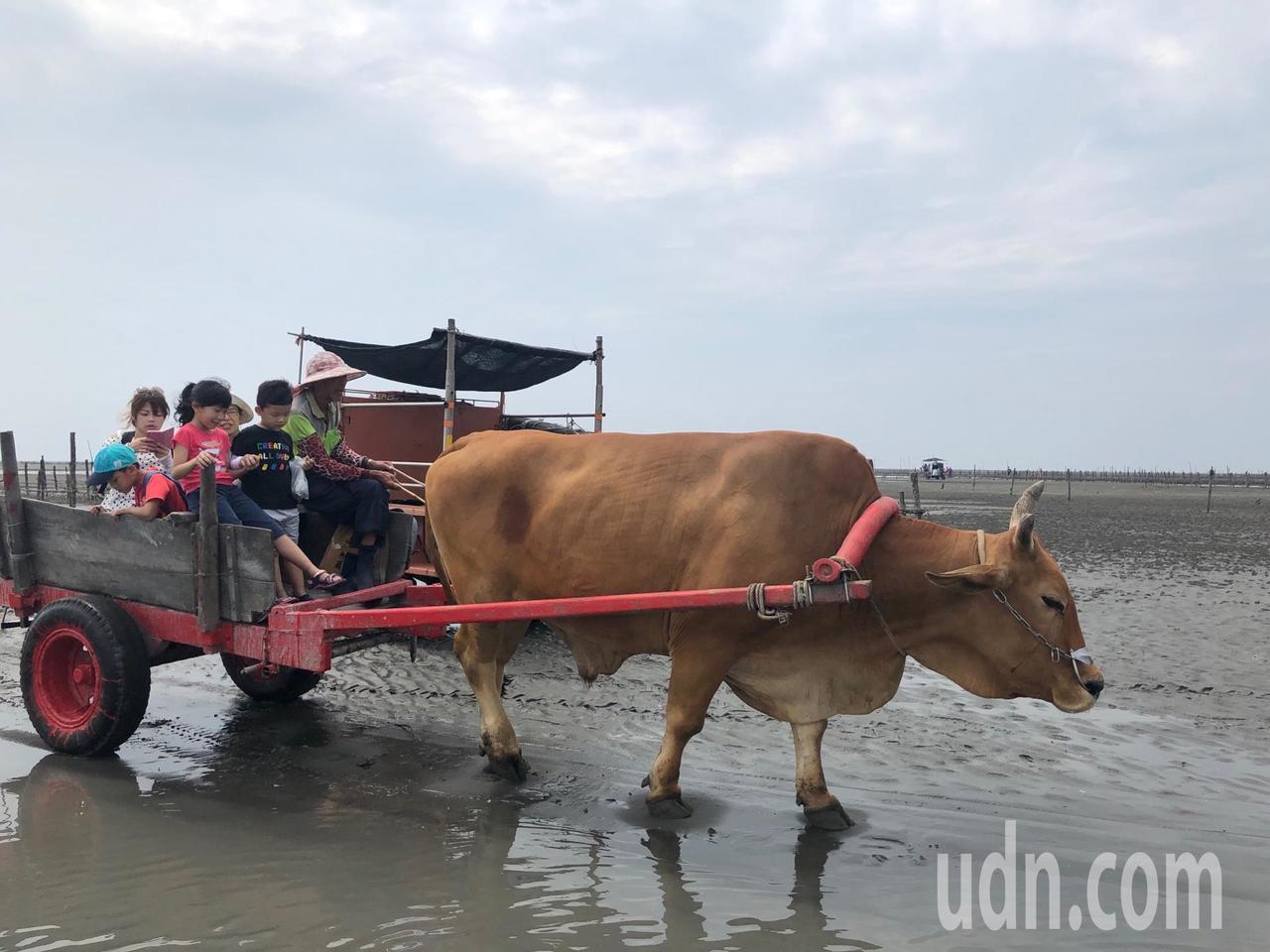 彰化縣擁有全世界獨一無二的搭海牛車漫遊潮間帶樂趣。記者何烱榮/攝影