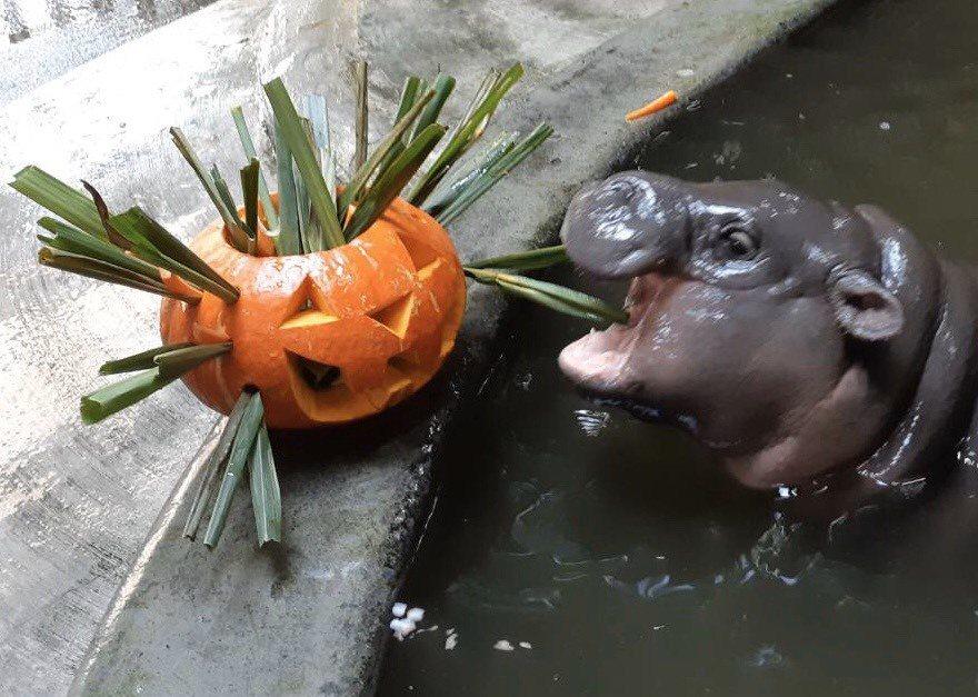 高雄市壽山動物園也為侏儒河馬寶寶準備收涎餅。圖/壽山動物園提供