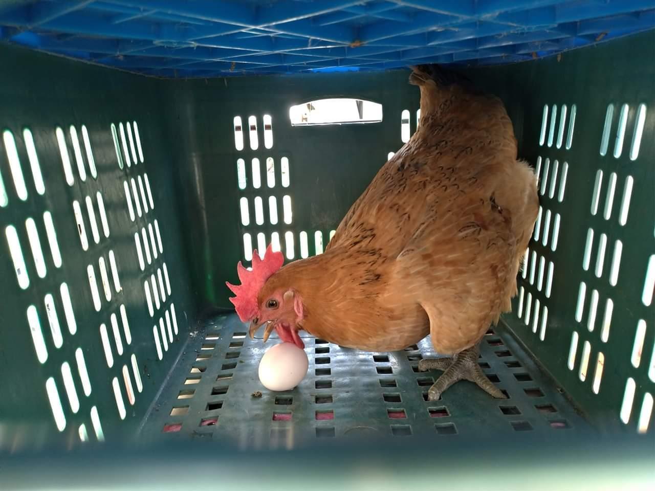 在自家門口撿到一隻走失的雞,沒想到牠直接在籃子中下蛋。圖擷自爆廢公社公開版