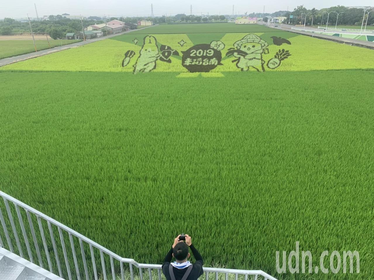 台南六甲稻田彩繪主角「ㄇㄚˊ幾兔」,已有民眾搶先看。記者吳淑玲/攝影