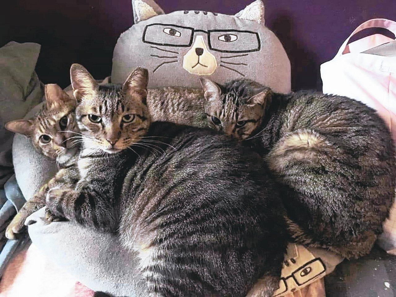 江正民與女友家中已收養了十多隻流浪貓,連他們自己都打趣說,別問他們有多少隻虎斑貓...