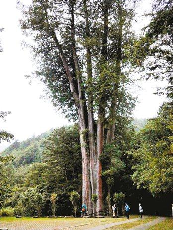 大雪山森林遊樂區的1400年大神木樹高49公尺,十分壯觀。 記者張明慧/攝影