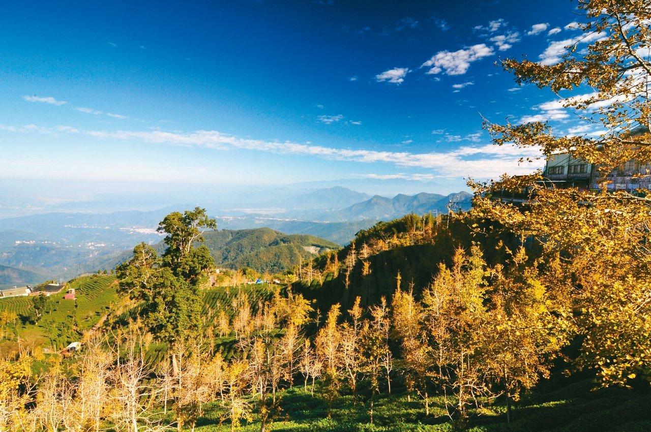 大崙山頂的銀杏森林不但有茶園景觀,更可享受雲海及極目遠眺的美景。 圖/聯合報系資...