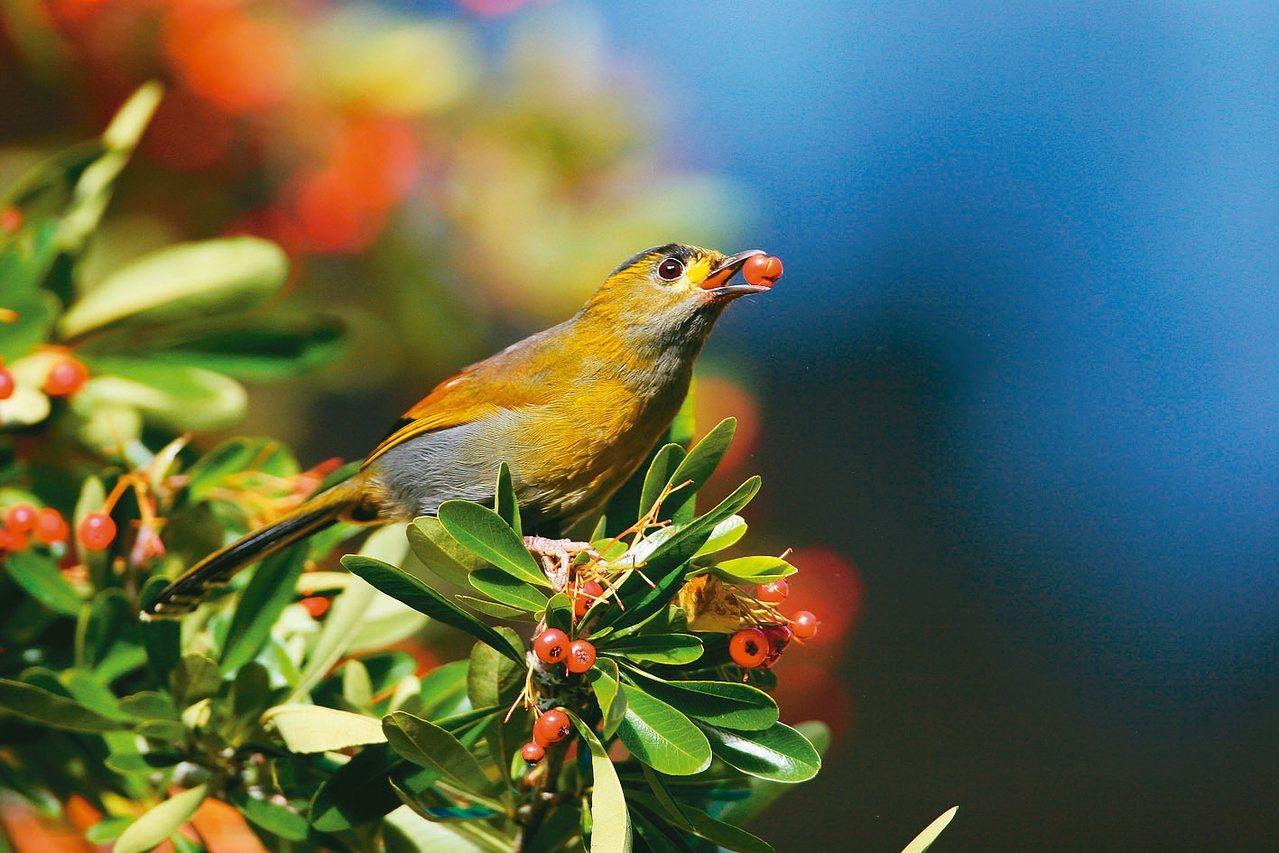 杉林溪台東火刺木果實成熟,成為鳥類的自助式餐廳。 圖/杉林溪提供