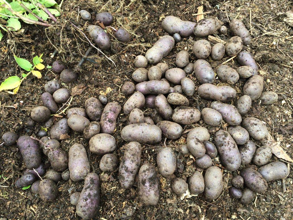 紫薯。本報資料照片