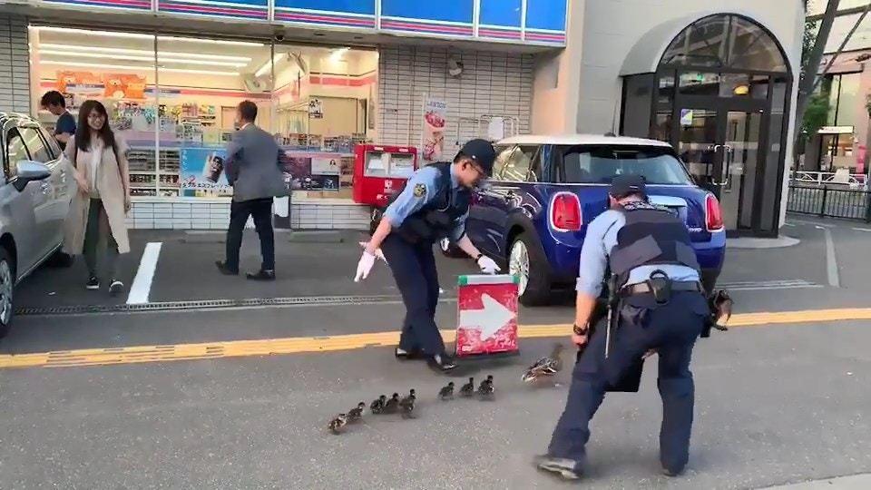 日本曾有2名警察俯身保護鴨母子,手持紅色的方向牌為牠們開路。圖取自/Twitte...