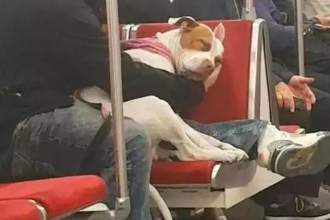 超暖!狗狗搭地鐵熟睡 主人全程伸手做「枕頭」